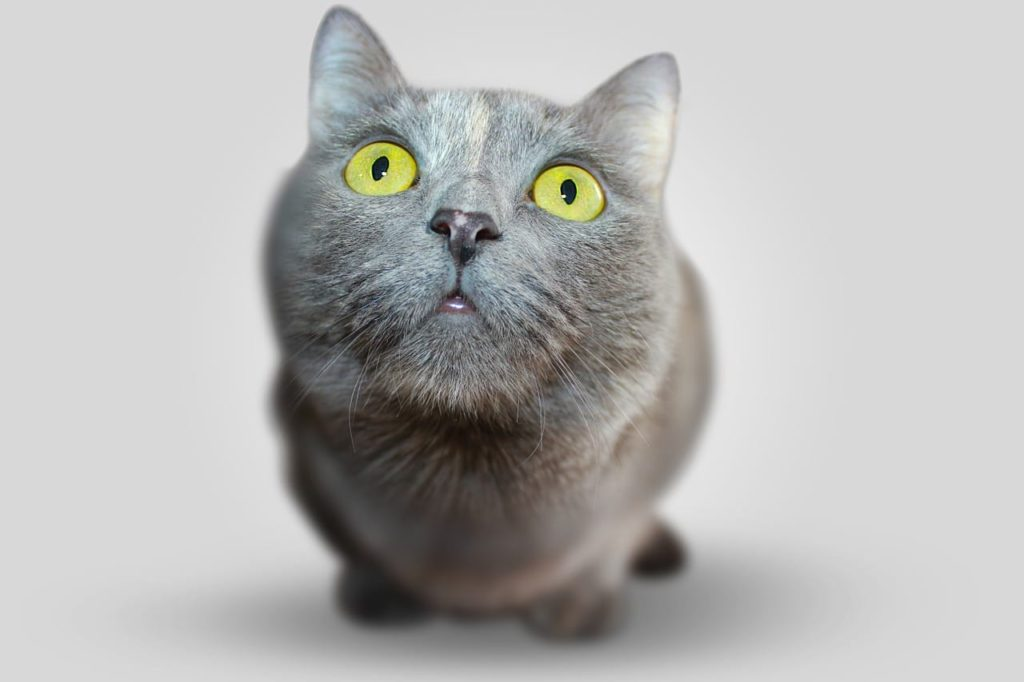 Chat gris gros yeux