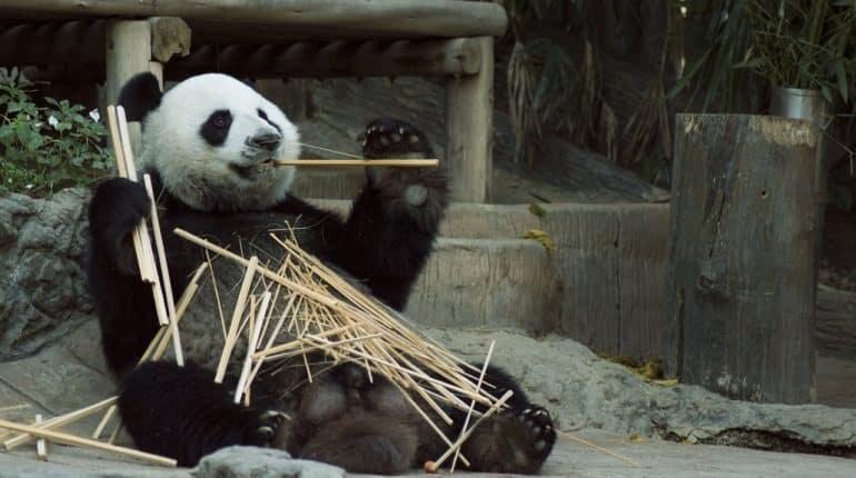 Panda géant mange