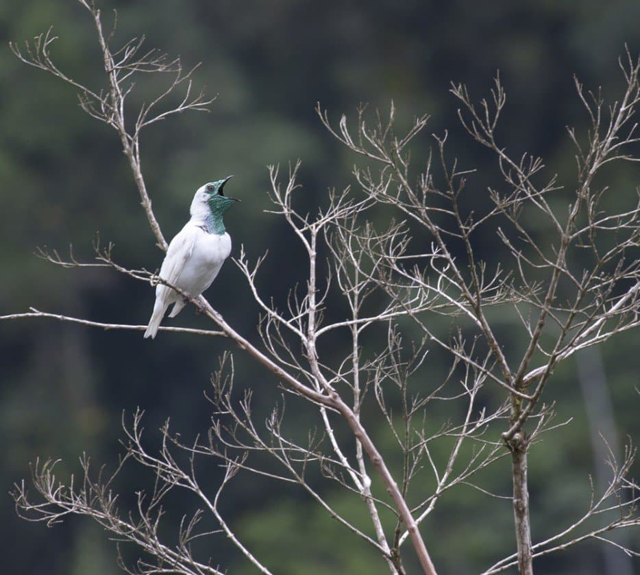 Le Bare-throated bellbird