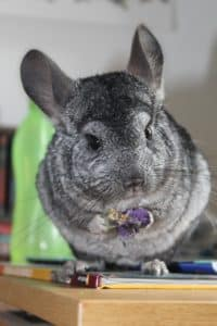 Chinchilla Mignon