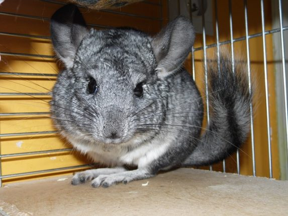 un chinchilla en cage