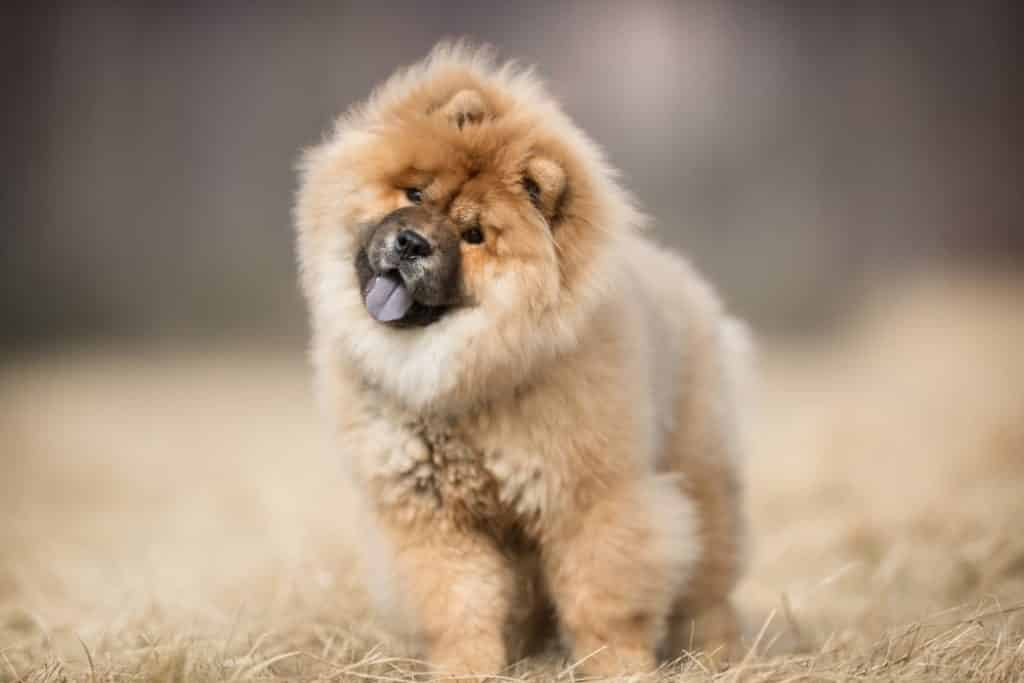 Adorable chien Chow Chow