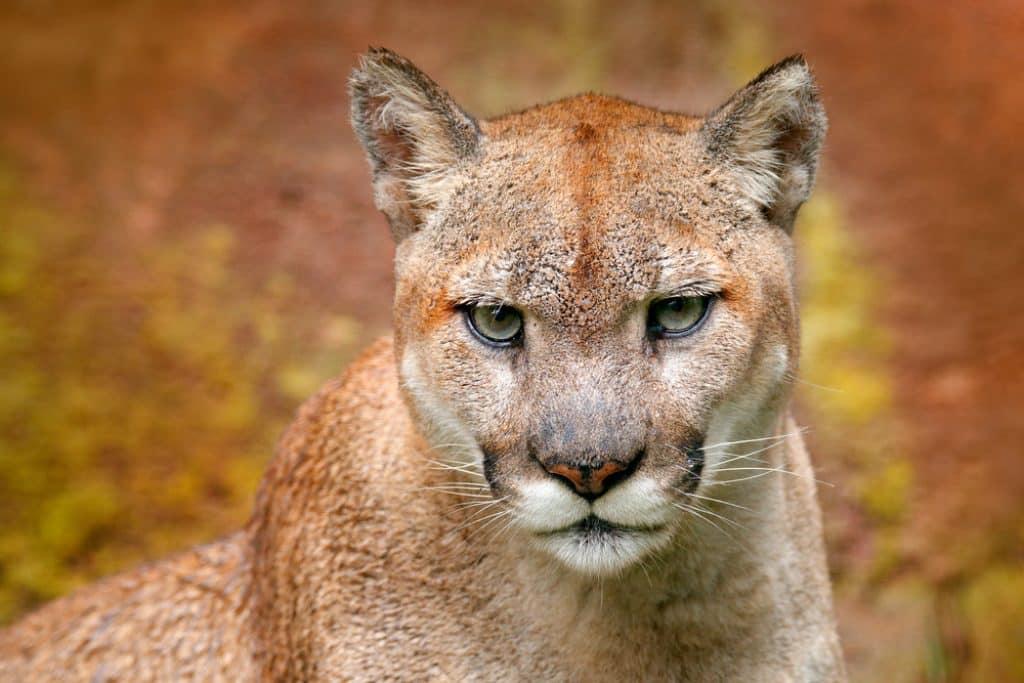 Cougar assis au Canada