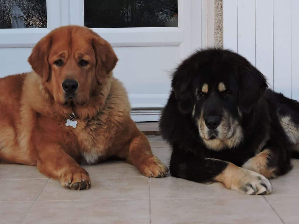 Couple de Dogue du Tibet