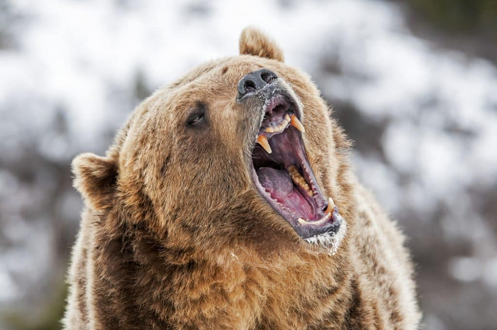 Grizzly gueule ouverte