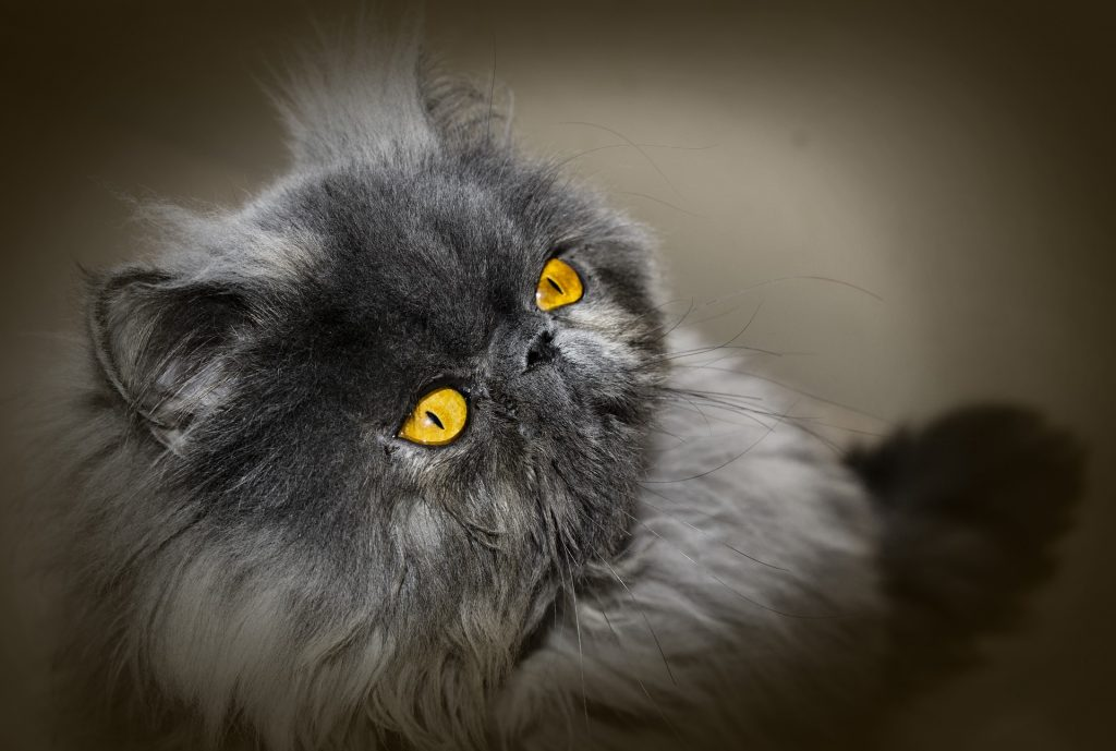 Chat-persan-yeux-or