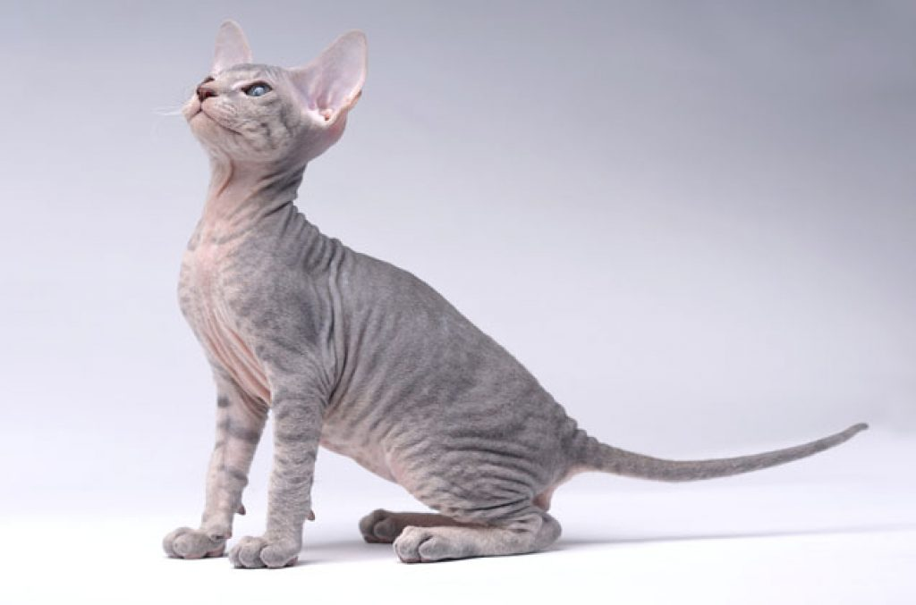 Chat-race-peterbald