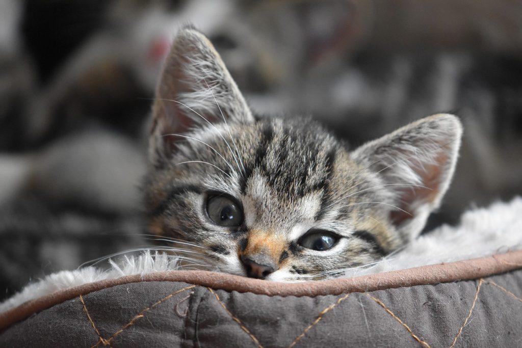 chaton-tigré-allongé-coussin