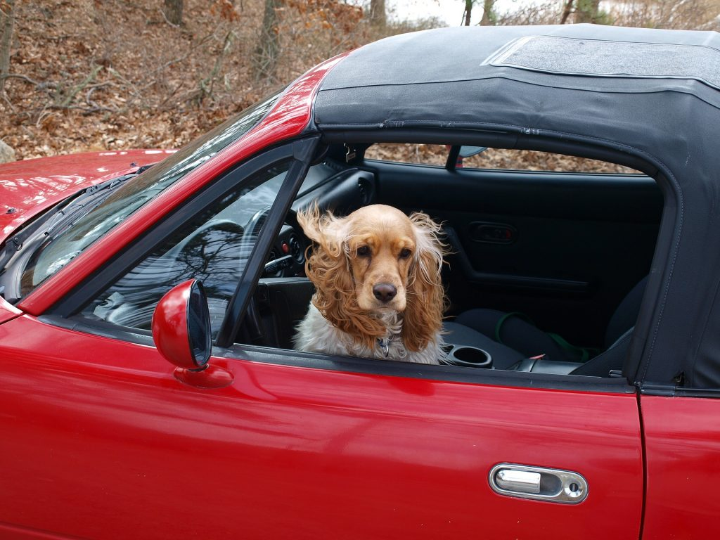 cocker-spaniel-voiture-rouge