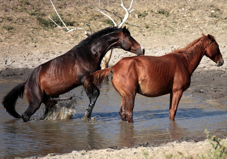 reproduction cheval