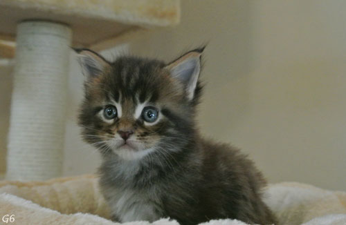 Chaton Main Coon A Donner Starnimo