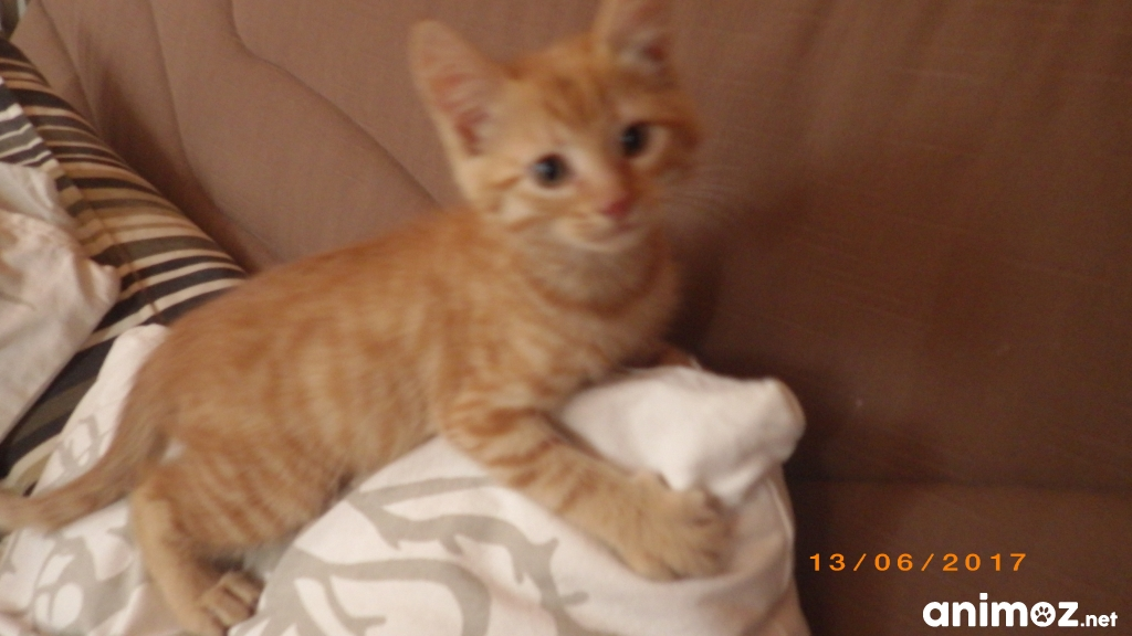 Chaton Roux A Donner Starnimo