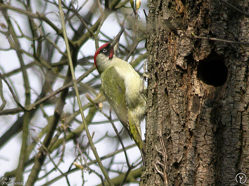 pic vert oiseau