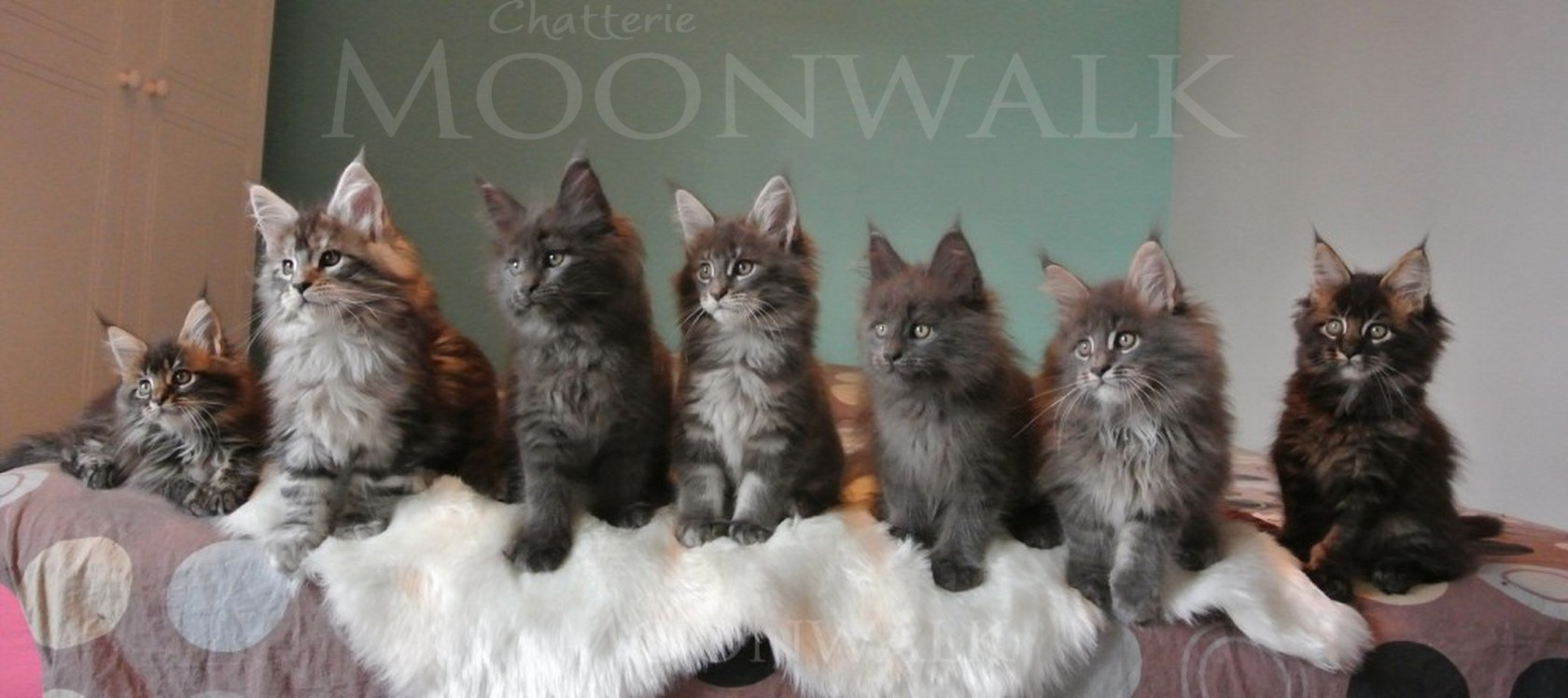 chatons main coon a vendre