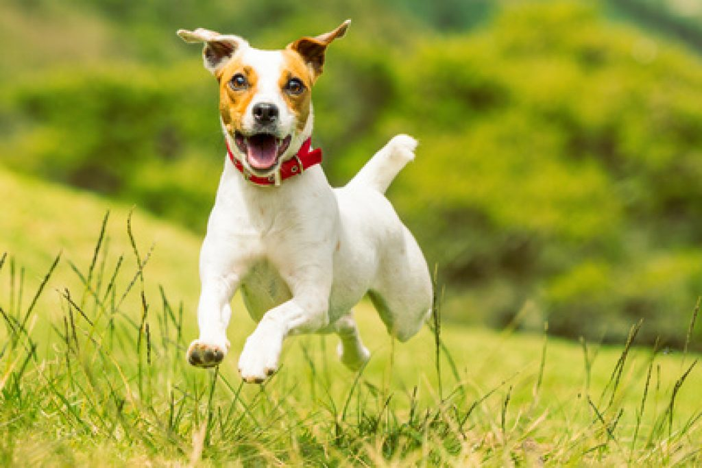 Jack Russell Terrier Chiot A Vendre Starnimo