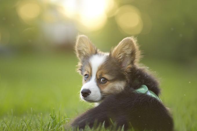 Le sens de l'ouïe d'un chien est dix fois plus précis que celui d'une personne.